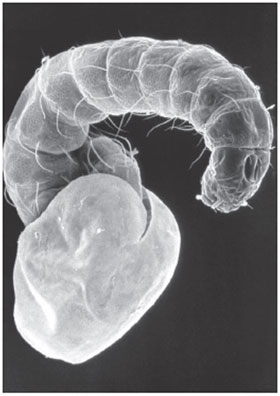 Electron microscopic image of a flea larva hatching from the egg with the egg shell still visible.