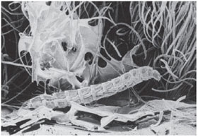 Electron microscopic image of a flea larva in its environment with environmental structures visible.