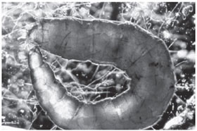Electron microscopic image of a flea pupa in a U-shaped form