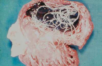 Picture of a dog's heart cut open, showing several adult Dirofilaria immitis inside.