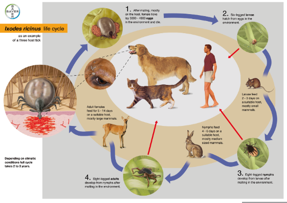 Illustration of the life cycle of Ixodes ricinus as an example of a three-host tick life cycle
