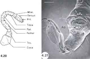 Diagram of individual anatomic sections of a tick leg and SEM of the distal part of a tick leg.