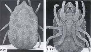 SEM-micrograph of argasid ticks; dorsal and ventral view.