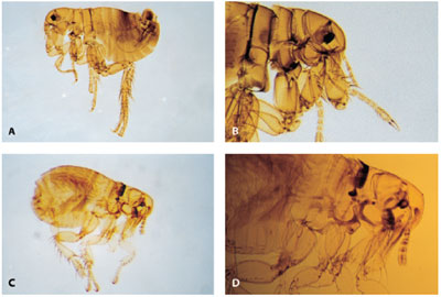 Light microscopic images of four adult fleas of four different species: upper left: cat flea Ctenocephalides felis, upper right dog flea Ctenocephalides canis, lower left hedgehog flea Archaeopsylla erinacei and lower right poultry flea Ceratophyllus gallinae.