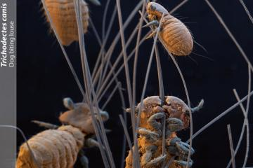 Multiple dog biting lice (Trichodectes canis) in hair, SEM