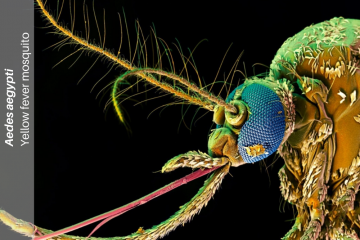 Mosquito (Aedes aegypti.), head lateral, SEM