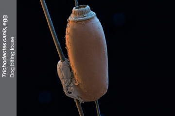 Egg of dog biting louse (Trichodectes canis) on hair, SEM